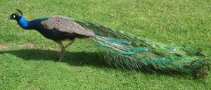 Peacock_09 by GoblinStock