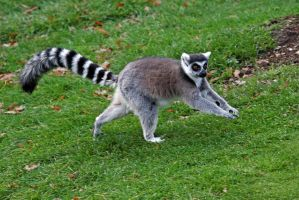Lemur 01 by LydiardWildlife