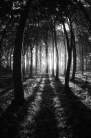 Beech Wood Dawn 11 by Grunvald