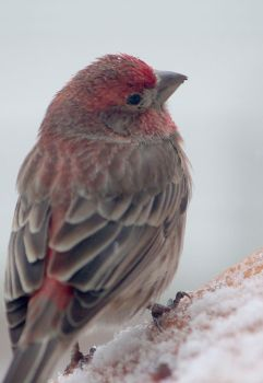So Cold - House Finch 2 by LakeFX