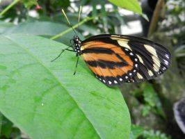 Isabella's Longwing by BlueMoon30