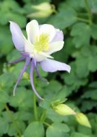 Columbine Hybrid 'Origami Blue and White' by TheSleepyRabbit