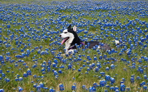 Husky in Blue Bonnets 2 of 3 by AquaVixie