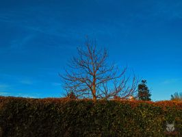 The Bare Tree Over hedge by wolfwings1