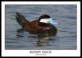 Ruddy Duck by THEDOC4
