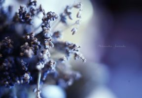 Lavender by Ishilla