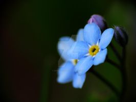 Forget-Me-Nots 10 by zaphotonista