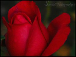 Red Rose - Grainy by Samcatt