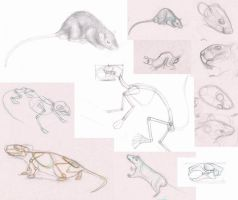 rats study by sofmer