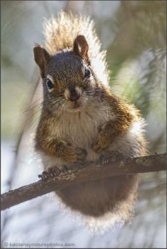 Squirrel 3 by kootenayphotos
