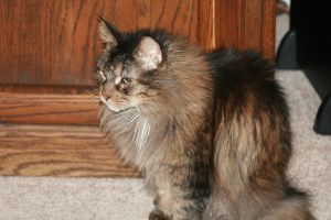 Cody The Maine Coon by Maeve09