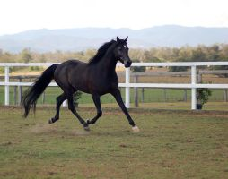 GE Arab black trot elevate front side by Chunga-Stock
