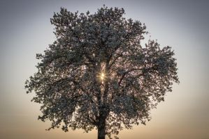cherry tree by UtziOnInconti