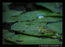 Frog by TVD-Photography