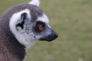 Ring-Tailed Lemur by Gecko-Girl