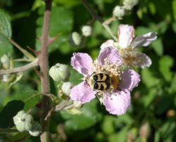 Bee Beetle on a Blackberry flower by TinyWild