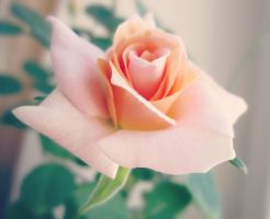 Sweet-smelling rose by Marianna9