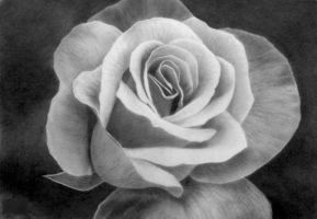 Rose, pencil by Panthera11