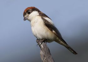 Woodchat Shrike by Jamie-MacArthur