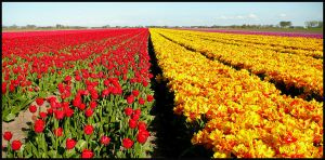 The best time for tulips? by jchanders