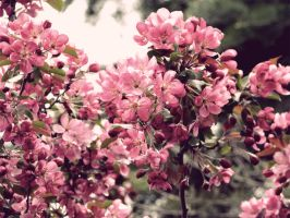 Apple Blossom by TorriaMuse