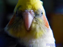 practice with macro - cockatiel face by MOGGGET