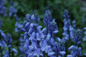 Blue bells by TcnBiob
