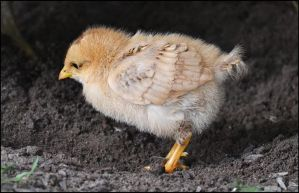 Little Chick by FrankAndCarySTOCK