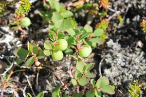 Immature blueberries by spartout