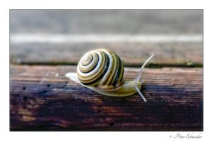 Snail by Phototubby
