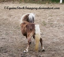 Shetland-Welsh X 12 by EquineStockImagery