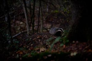Badger III by HenrikHolmberg