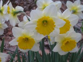 a bunch daffs by crazygardener
