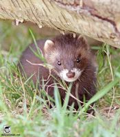 The weasel under the log by jaffa-tamarin