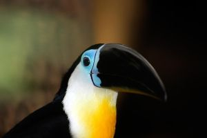 Channel-billed Toucan by ParaMAX