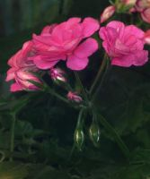 Pink Geranium by allison731