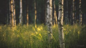 Summer Birch Forest (Wallpaper) by ~Nitrok