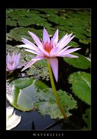Water Lilly by estilodesigns
