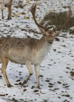 Fallow deer by ToryHartley