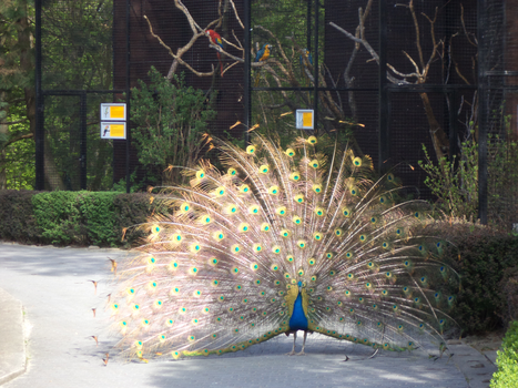 Peacock at Cracow Zoological Garden by MrGorsh