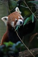 Red Panda by Enigma784