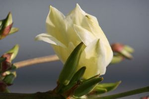 blooming Yucca 3 by ingeline-art