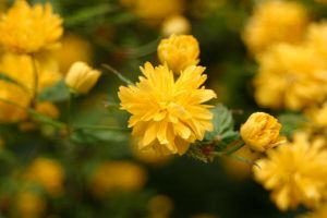 Yellow Poofs by looking4myleopard
