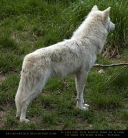 Arctic Wolf 6 by SalsolaStock