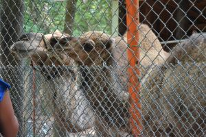 Waccatee Zoo Camels by MrsChibi
