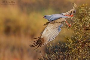 Goshawk Take-off by LinRuPhotography