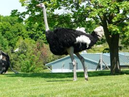 Ostrich 08 by Unseelie-Stock