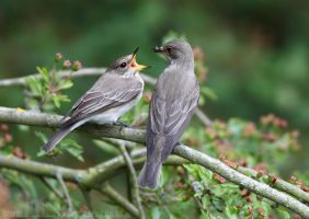 Spotted Flycatchers by Albi748