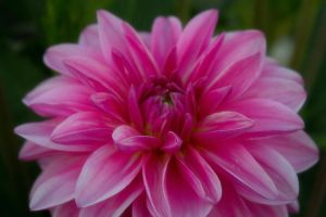Pink Wild Flower by Exhibit-The-Mad