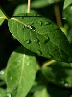 dew drops on green leaves by fotophi